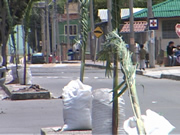 Más árboles embellecen Avenida 28 de Noviembre