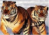 2010, año del tigre