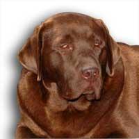 Perros labradores pueden detectar el cáncer intestinal