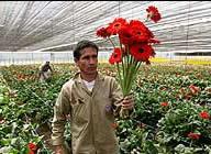 La revaluación afecta más al sector floricultor que el invierno