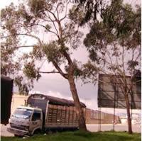 Para evitar una tragedia, 12 eucaliptos ubicados en Corabastos serán talados