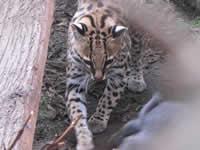 Un gato en la piel de un tigrillo