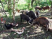 Cerdo criollo del Pacífico, al borde de la extinción