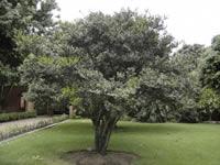 Soacha sembrará   árboles de libertad