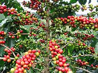 Cundinamarca celebra el  día del café