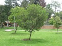 Bogotanos  podrán escoger el árbol más notable de su ciudad