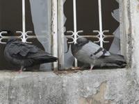 Palomas y ratas acechan en el sector Junín de San Mateo