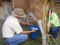 Productores de Cundinamarca denuncian lacto-tráfico