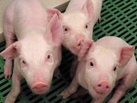 Alerta por llegada de virus porcino a Cundinamarca