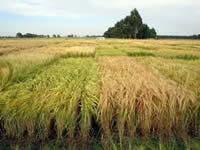 Bavaria propone comercialización de cebada en Cundinamarca