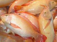 Se fortalecen acciones para evitar consumo de pescado en mal estado