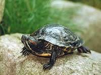Carne de tortuga icoitea fue decomisada