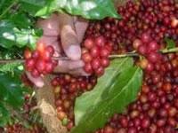 Cundinamarca realiza diagnóstico integral de ecosistemas cafeteros