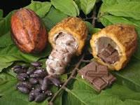 Gobierno cundinamarqués fortalece cadenas cacaoteras