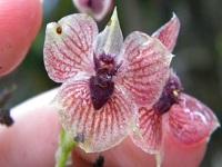 En Colombia se encuentra la orquídea del diablo