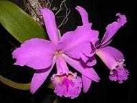 Enfermedad   ataca   las orquídeas en Cundinamarca