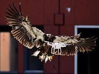 Con águilas la Policía derribará drones en Holanda