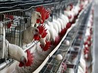 116 granjas avícolas en Cundinamarca son bioseguras