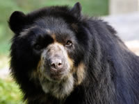 Autoridades siguen tras la pista del responsable de la muerte del oso andino