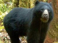 Fue reportado avistamiento de un pequeño oso en La Calera