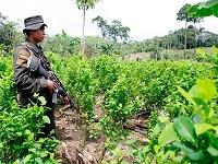 Durante este año se han erradicado seis mil hectáreas de coca