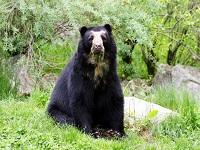Capturando el presunto asesino del oso de anteojos