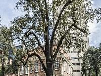 Restaurarán El Nogal, uno de los emblemáticos árboles de Bogotá