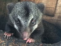 Nace primera cría de coatí de montaña en bioparque de Cota