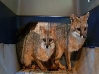 Zorros, los responsables de ataques a animales del departamento