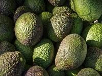 Aguacate colombiano podrá ser exportado a EE.UU