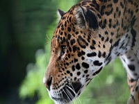 Reportan hallazgo de un jaguar en Cundinamarca