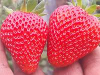 Sabor, dulzura y tamaño, ingredientes para saborear las fresas de Sibaté