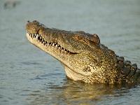 Amenazada la existencia de la mitad de los cocodrilos del país