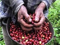 Aumentó la producción de café colombiano