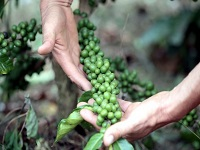 Caficultores cundinamarqueses estarán ante Colombia y el mundo