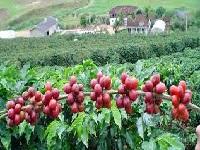 Millonaria inversión para la productividad del sector caficultor de Cundinamarca