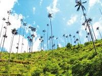 Alerta en el país por incautación de 1.700 palmas de cera