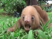 Rescatan oso perezoso encontrado en Nilo