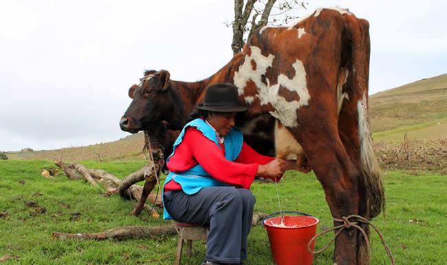 Pasteurizadoras insisten importar leche y no comprarla a  campesinos colombianos