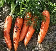 Producción de zanahoria alcanzó récord nacional