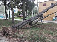Gigantesco árbol se cayó en Soacha y autoridades no hacen nada