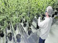 Por primera vez, Colombia exportará cannabis legalmente a Canadá