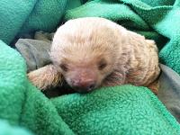 Encuentran cría de oso perezoso en carreteras de Cundinamarca