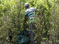 Aumento de cultivos ilícitos en Colombia preocupa a la ONU