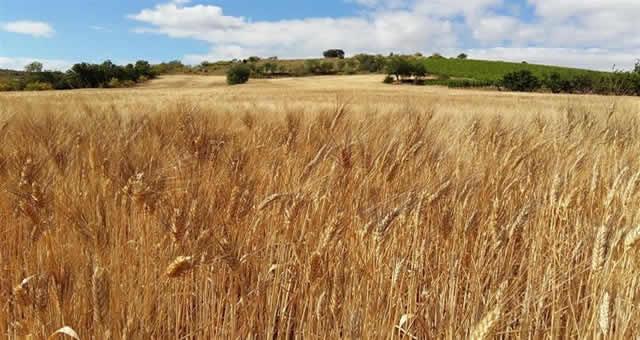 Colombia nuevamente produce cebada maltera
