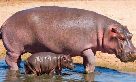 Colombia tendría más hipopótamos, algunos en Cundinamarca
