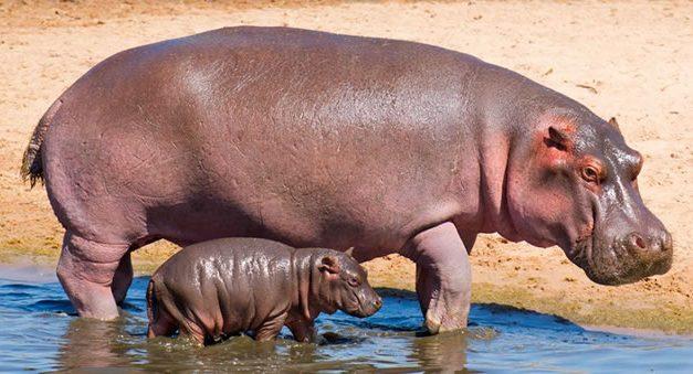 Tribunal de Cundinamarca estudia  petición para contener la invasión de  hipopótamos de Pablo Escobar