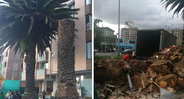 Personería pide suspender tala de dos palmas centenarias en el norte de Bogotá
