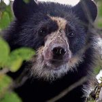 Colombia  celebra día del   oso andino