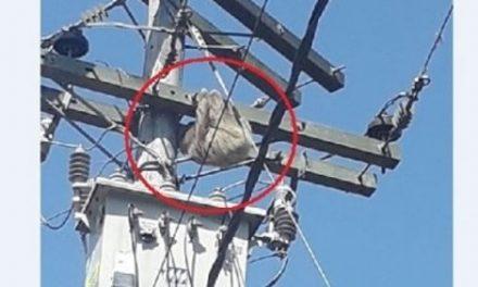 Perezoso casi muere electrocutado en Silvania